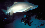 Dyka med hajar