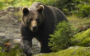Björnskådning för två